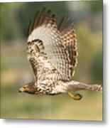 Red Tailed Hawk Hunting Metal Print