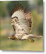 Red Tailed Hawk Hunting Metal Print