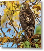 Red-tailed Hawk In Fall Color Metal Print