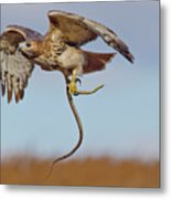 Red-tailed Hawk In Flight With Snake Metal Print