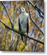 Red-tailed Hawk In The Fall Metal Print