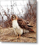 Red Tailed Hawk In The Field Metal Print