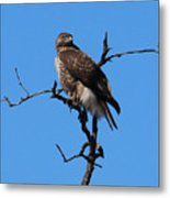 Red Tailed Hawk Metal Print by Kathy DesJardins