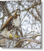 Red Tailed Hawk,  Metal Print
