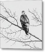 Red-tailed Hawk On Perch Metal Print