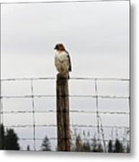 Red Tailed Hawk On The Lookout Metal Print