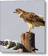 Red Tailed Hawk Perched Metal Print
