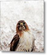 Red Tailed Hawk Portrait Metal Print