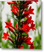 Red Texas Plume Flowers Metal Print