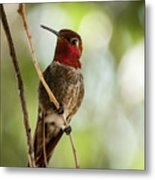 Red Throated Hummingbird Metal Print