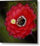 Red Torch Cactus-echinopsis  Metal Print