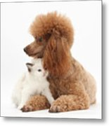 Red Toy Poodle And Kitten Metal Print