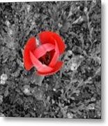 Red Tulip From Above Metal Print
