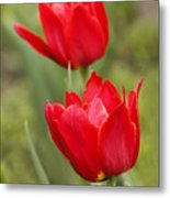 Red Tulips In A Meadow Closeup Sunny Spring Day Metal Print