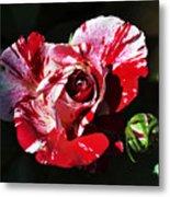 Red Verigated Rose Metal Print by Clayton Bruster