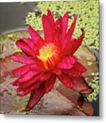 Red Water Lily Metal Print