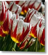 Red White And Yellow Tulips Metal Print