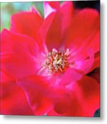 Red White Rose Metal Print