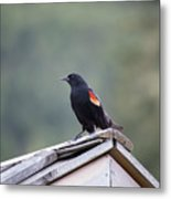 Male Red Wing Black Bird Metal Print