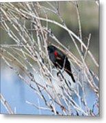 Red Winged Black Bird At Chatfield Metal Print