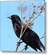 Red-winged Blackbird . 40d5718 Metal Print