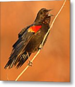 Red-winged Blackbird Belting Out Spring Song Metal Print