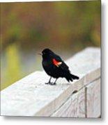 Red Winged Blackbird Metal Print