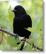 Red-winged Blackbird Metal Print by Doris Potter
