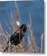 Red-winged Blackbird On Cattail  Metal Print