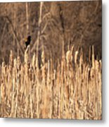 Red Winged Blackbird On Cattails Metal Print