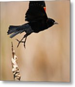 Red-winged Takeoff Metal Print