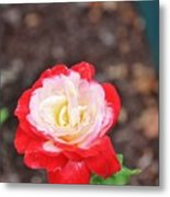 Red With Pink White Yellow Centered Rose Metal Print