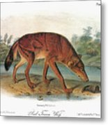 Red Wolf (canis Lupus) Metal Print