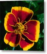 Red/yellow Flower 4-24-16 Metal Print