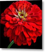 Red Zinnia Metal Print