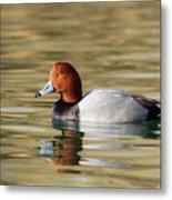 Redhead On Sunny Pond Metal Print