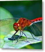 Redheaded Dragonfly Metal Print