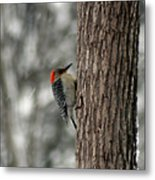 Redheaded Woodpecker Metal Print