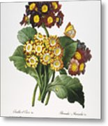 Redoute: Auricula, 1833 Metal Print by Granger