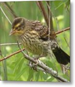 Redwing Blackbird - Immature Metal Print