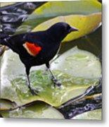 Redwinged Black Bird On A Lily Pad Metal Print