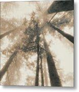 Redwood Forest, Northern California, Usa Metal Print