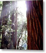 Redwood Sunlight Metal Print