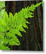 Redwood Tree Forest Ferns Art Prints Giclee Baslee Troutman Metal Print