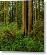 Redwoods And Ferns Metal Print