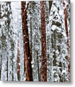Redwoods In Snow Metal Print