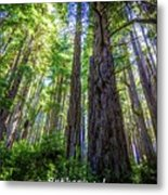 Redwoods National Forrest Trees Of Mistery Metal Print
