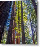 Redwoods Of Muir Woods Metal Print