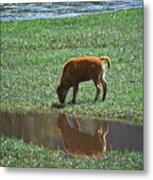 Reflection Buffalo Calf Metal Print