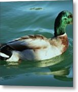 Reflections From A Mallard In Omaha Metal Print